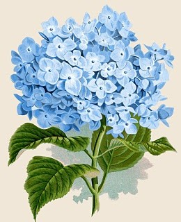 Instant Art Printable Download – Blue Hydrangea Botanical