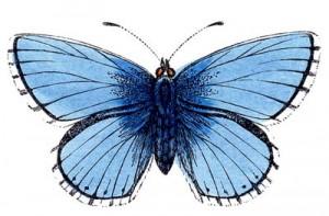 Butterfly Blue Clip Art