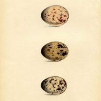 morris+eggs+brown+vintage+graphic--graphicsfairy2bsm