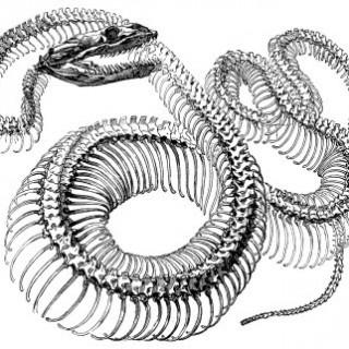 Antique Engraving Graphic – Snake Skeleton