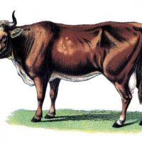 Vintage Graphic Image - Beautiful Cow