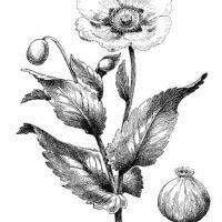 poppy+image+graphicsfairy013bg