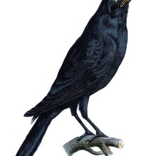 Black Crow Image