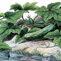 cucumbers-graphicsfairysmb