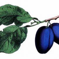 Blue Plum Image
