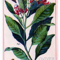 Vintage Graphic - Wonderful Clove Plant
