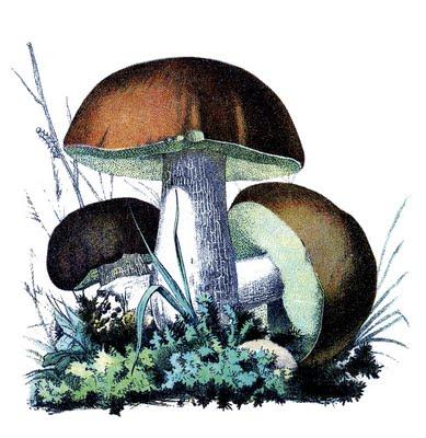 Groovy Vintage Botanical Graphics Mushrooms The Graphics Fairy Funny Birthday Cards Online Amentibdeldamsfinfo
