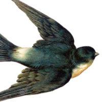 Flying Swallow Bird Image
