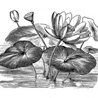 Black and White Water Lily Lotus Flower