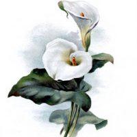 Cala Lily Image