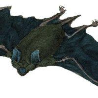 Flying Bat Vintage Image
