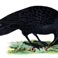 292birds+raven+vintage+image+graphicsfairy6b