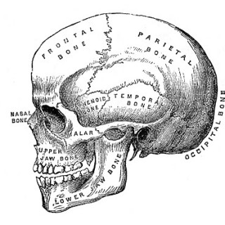 Vintage Halloween Clip Art – Anatomy Skull – Printable