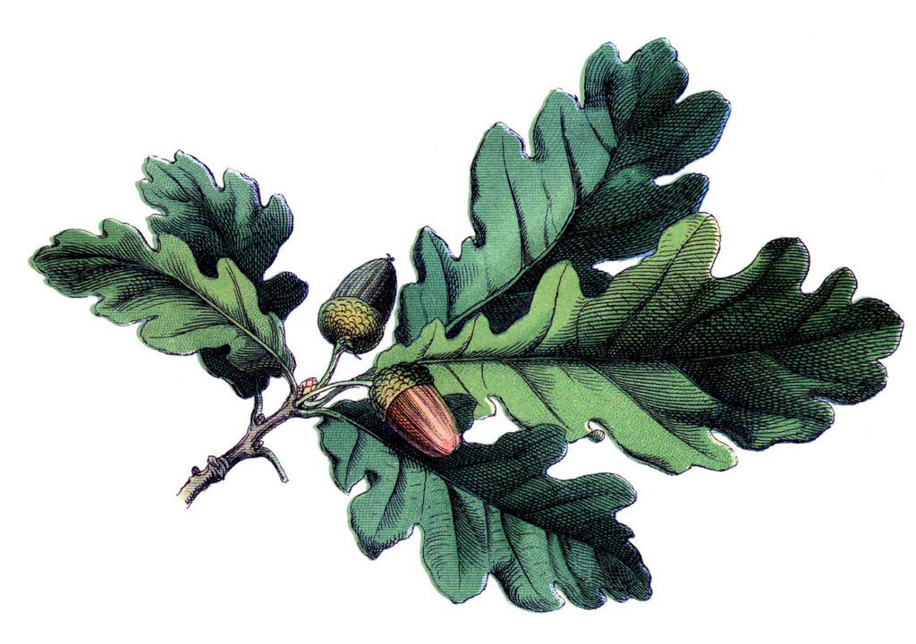 Oak Leaf Image