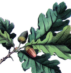 16 Oak Leaf Images with Acorns