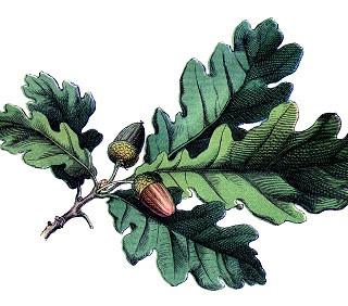 Antique Botanical Image – Oak Leaves with Acorns