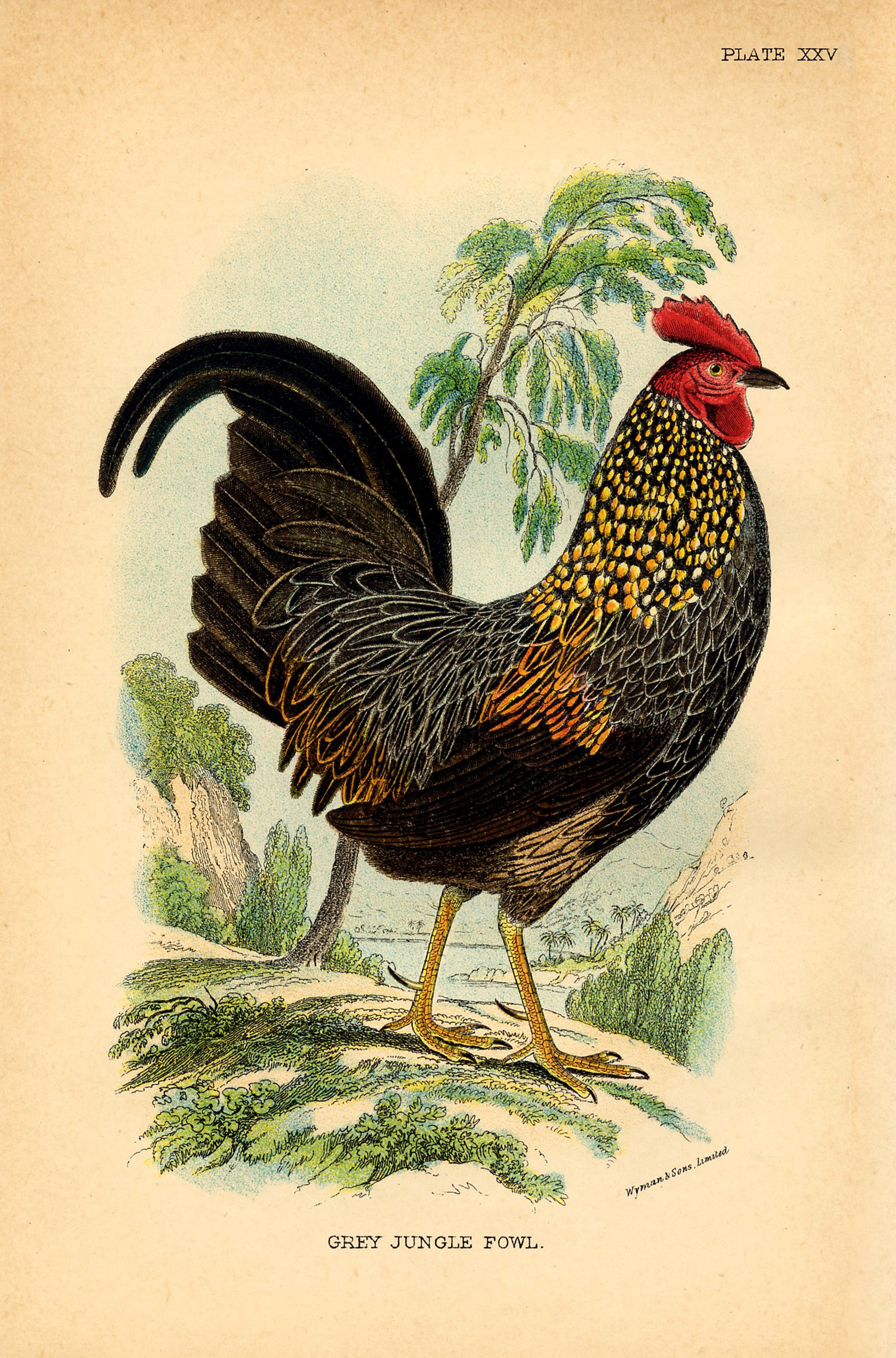 image regarding Free Printable Pictures of Roosters identified as 14 Chicken Illustrations or photos! - The Graphics Fairy