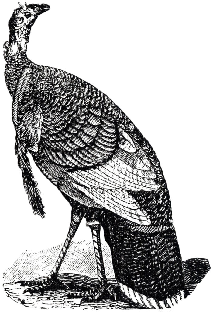 Antique Black and White Turkey Image