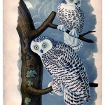 282snowy+owls+vintage+image+graphicsfairy004sm