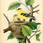 269goldfinch+nest+vintage+image+GraphicsFairysm