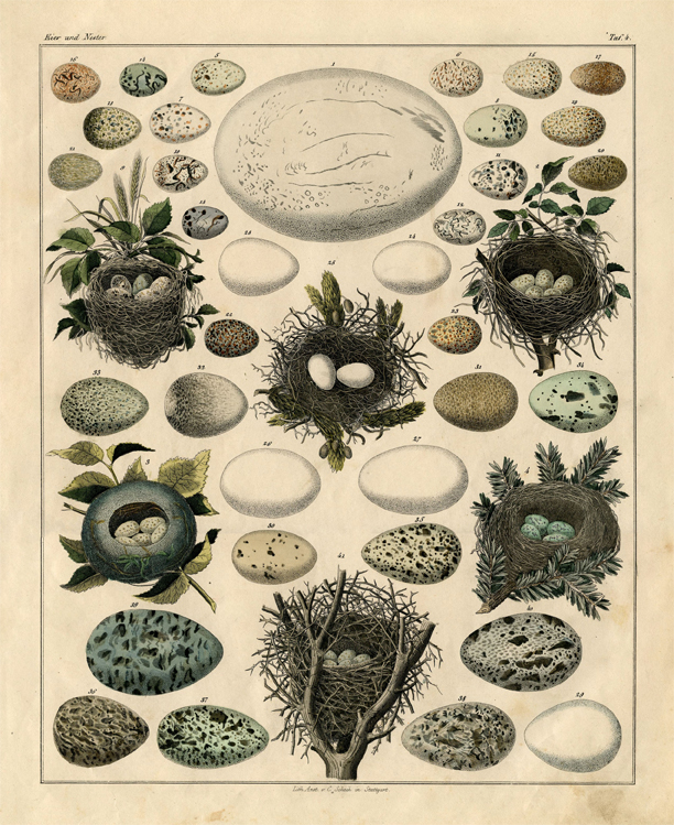 Eggs and Nests Vintage Print