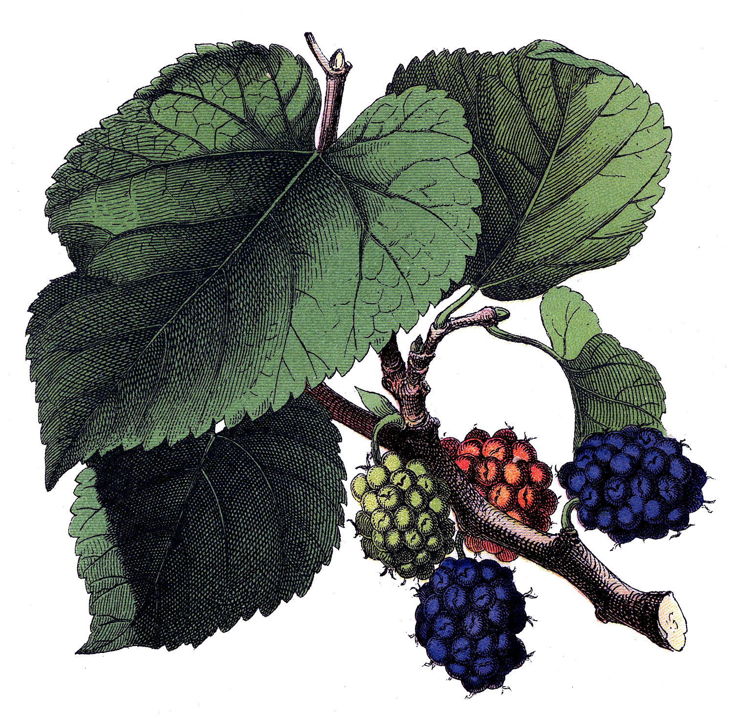 Antique Image - Beautiful Mulberries - Botanical - The ...