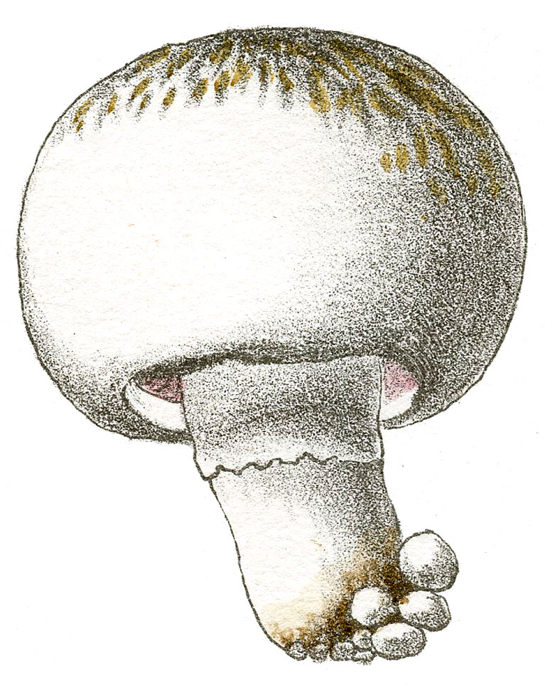 Round White and Tan Mushroom