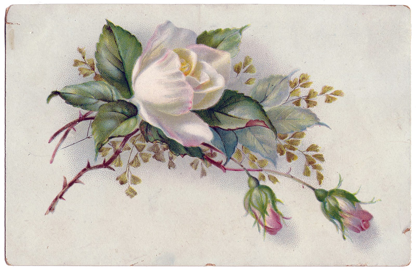 Vintage Rose White And Pink Beautiful The Graphics Fairy