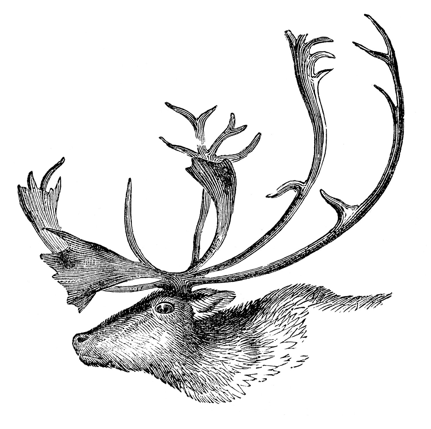 Vintage Animal Clip Art - Caribou with Antlers - The Graphics Fairy