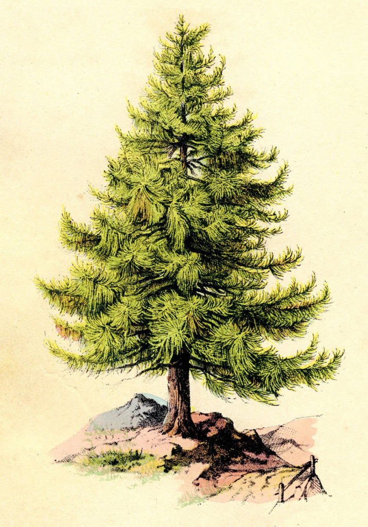 Perfect Pine Tree Image