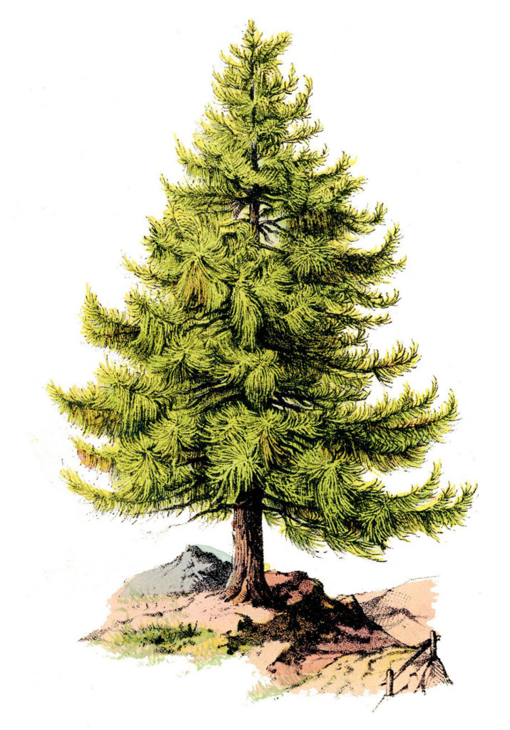 Pine Tree Botanical Image