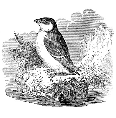Vintage Bird Graphics Auk