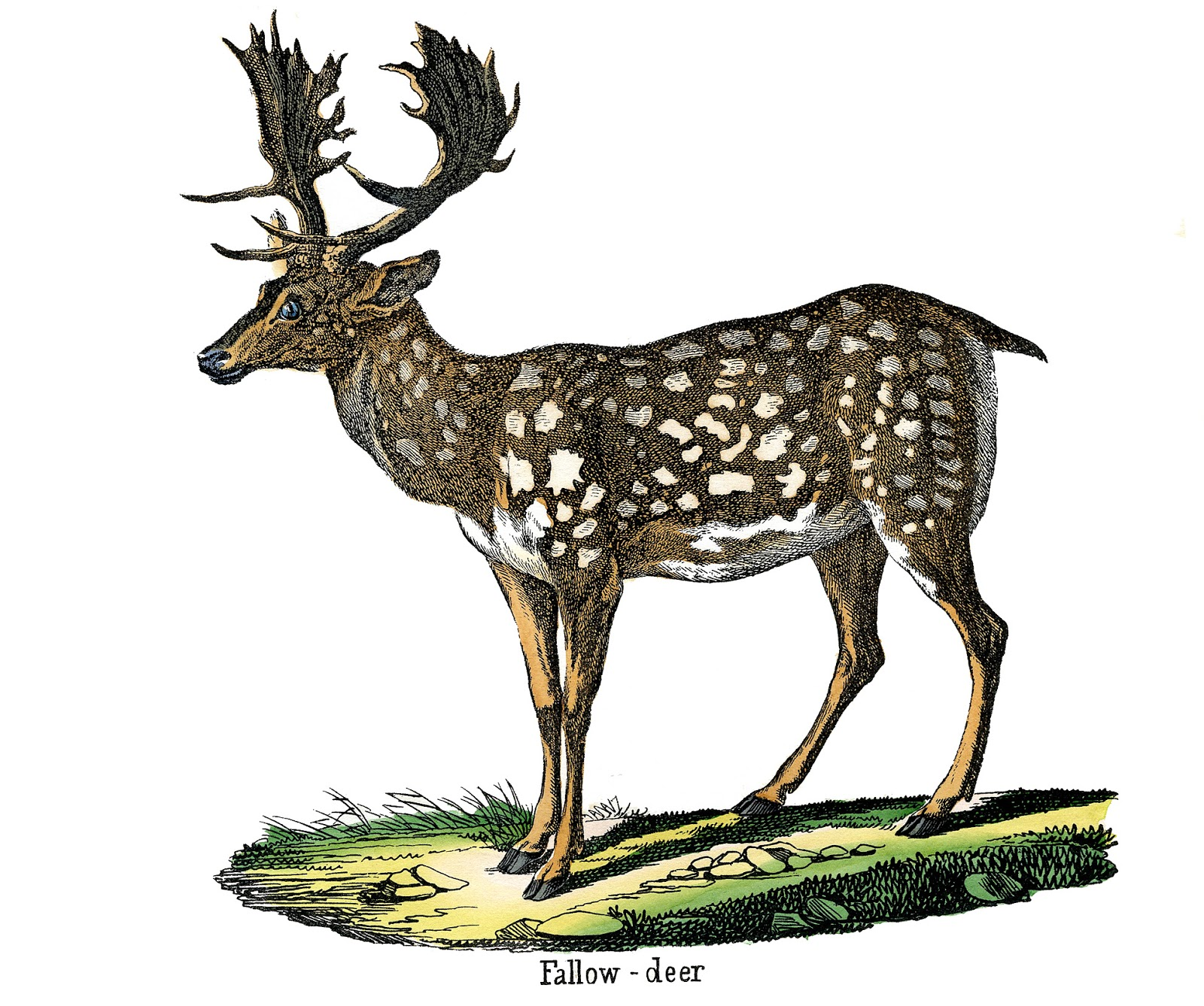 Vintage Animal Image - Fallow Deer - The Graphics Fairy