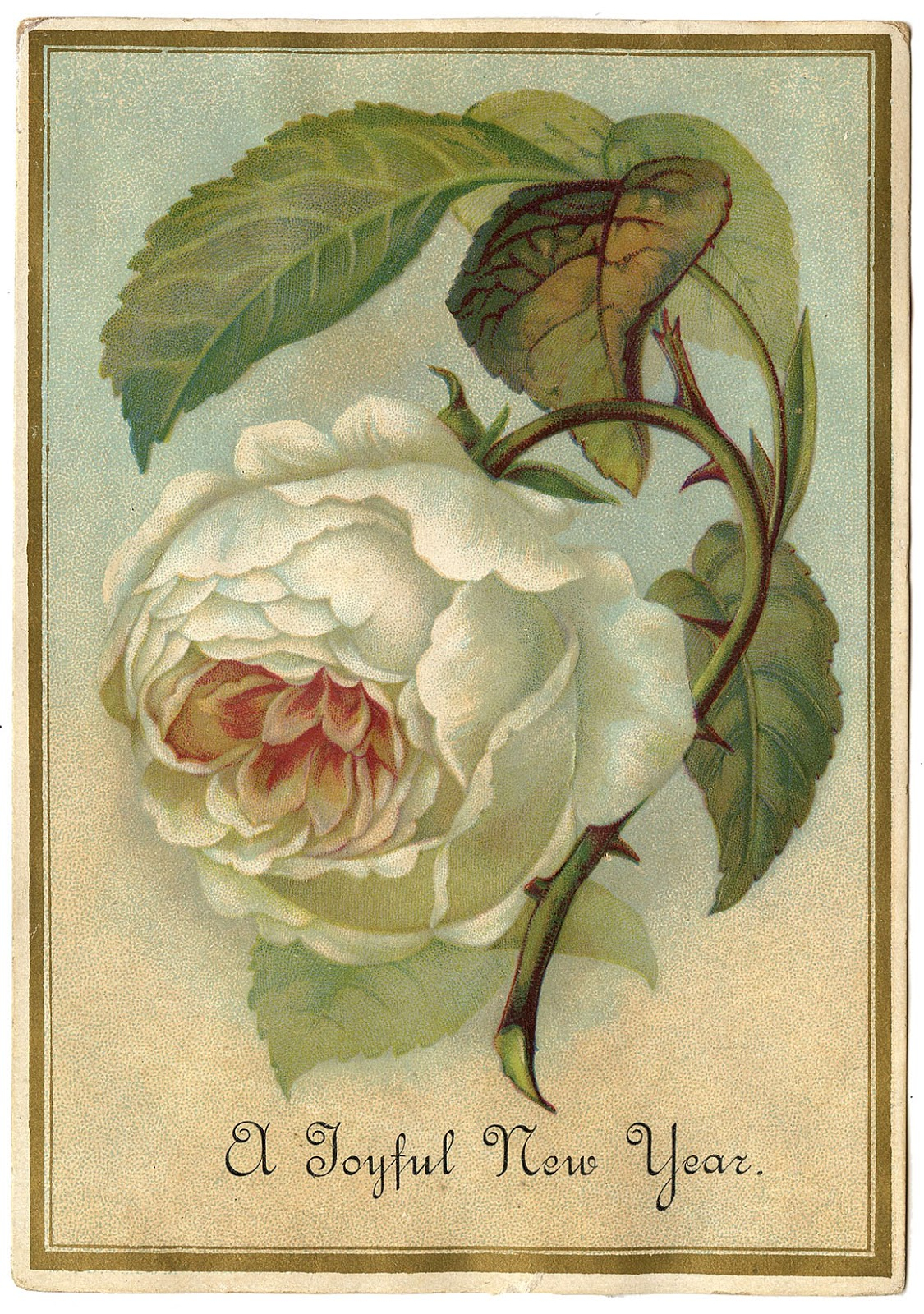 Antique Image White Cabbage Rose The Graphics Fairy