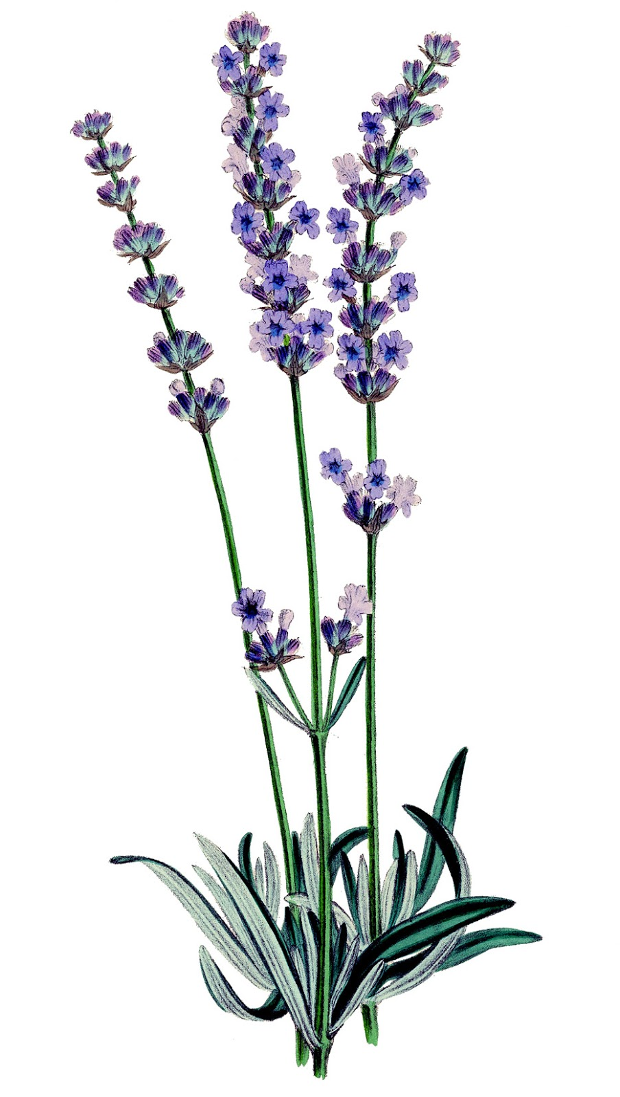 Vintage stock image lavender plant botanical the for Botanic fleurs artificielles