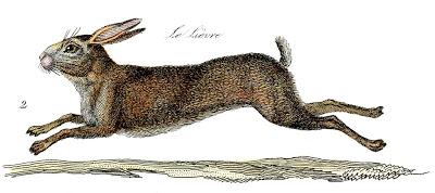 French Rabbit  Natural History  Hare