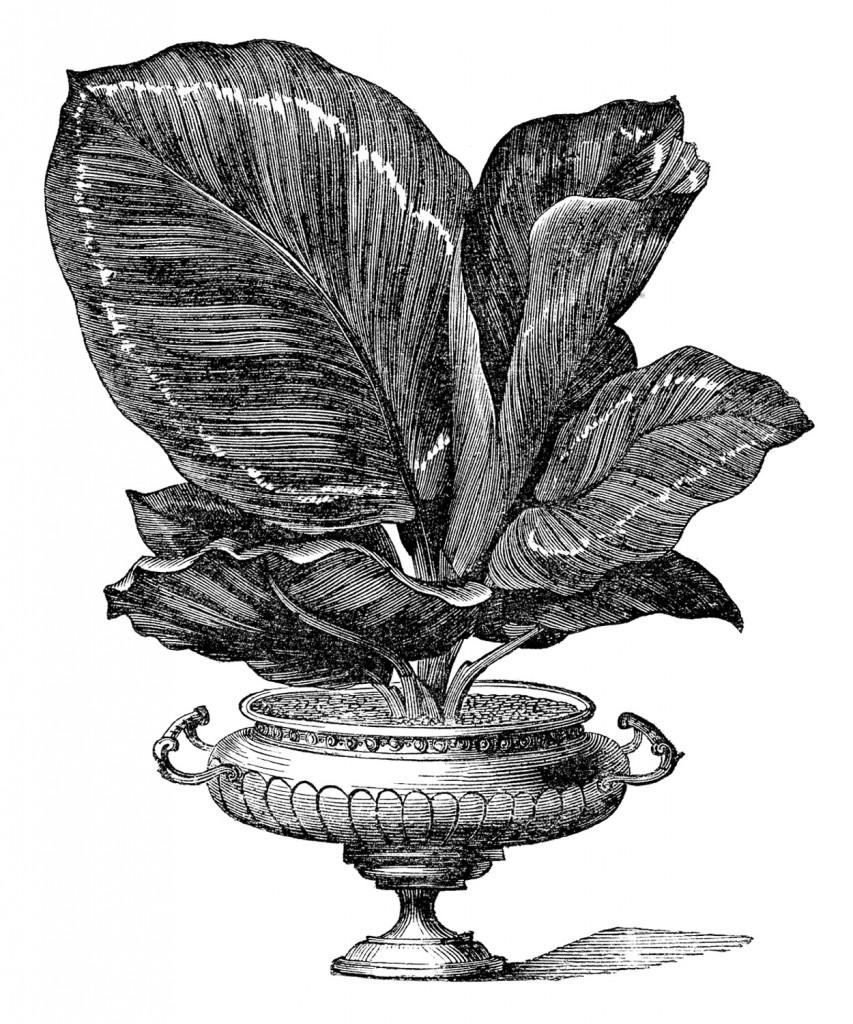 Large Leaf House Plant