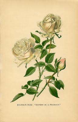 Vintage печати Белые розы Ботанического