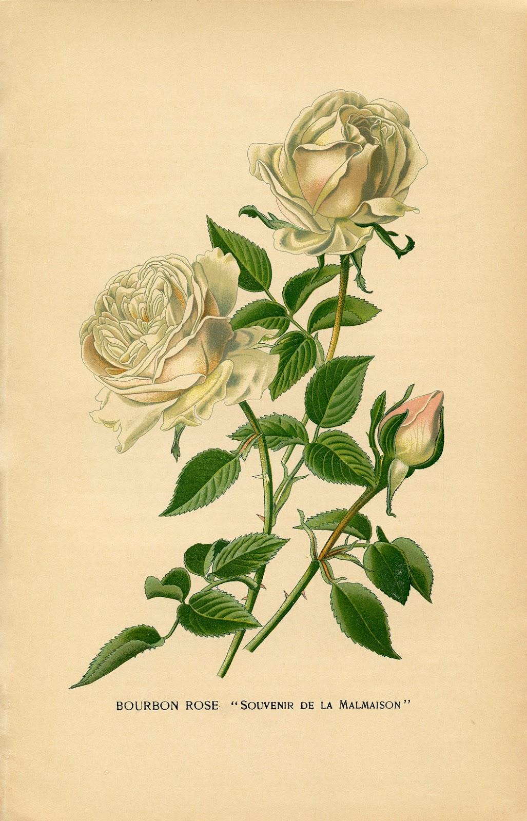 Vintage Printable - White Roses - Botanical - The Graphics ...