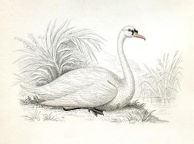 Vintage Illustration - White Swan Image