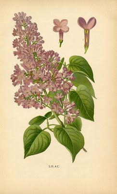 Vintage Botanical Printable - Lilac - Instant Art