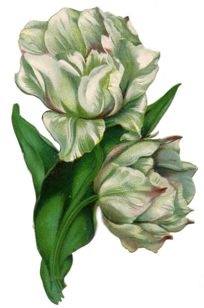 VIntage Image White Tulips