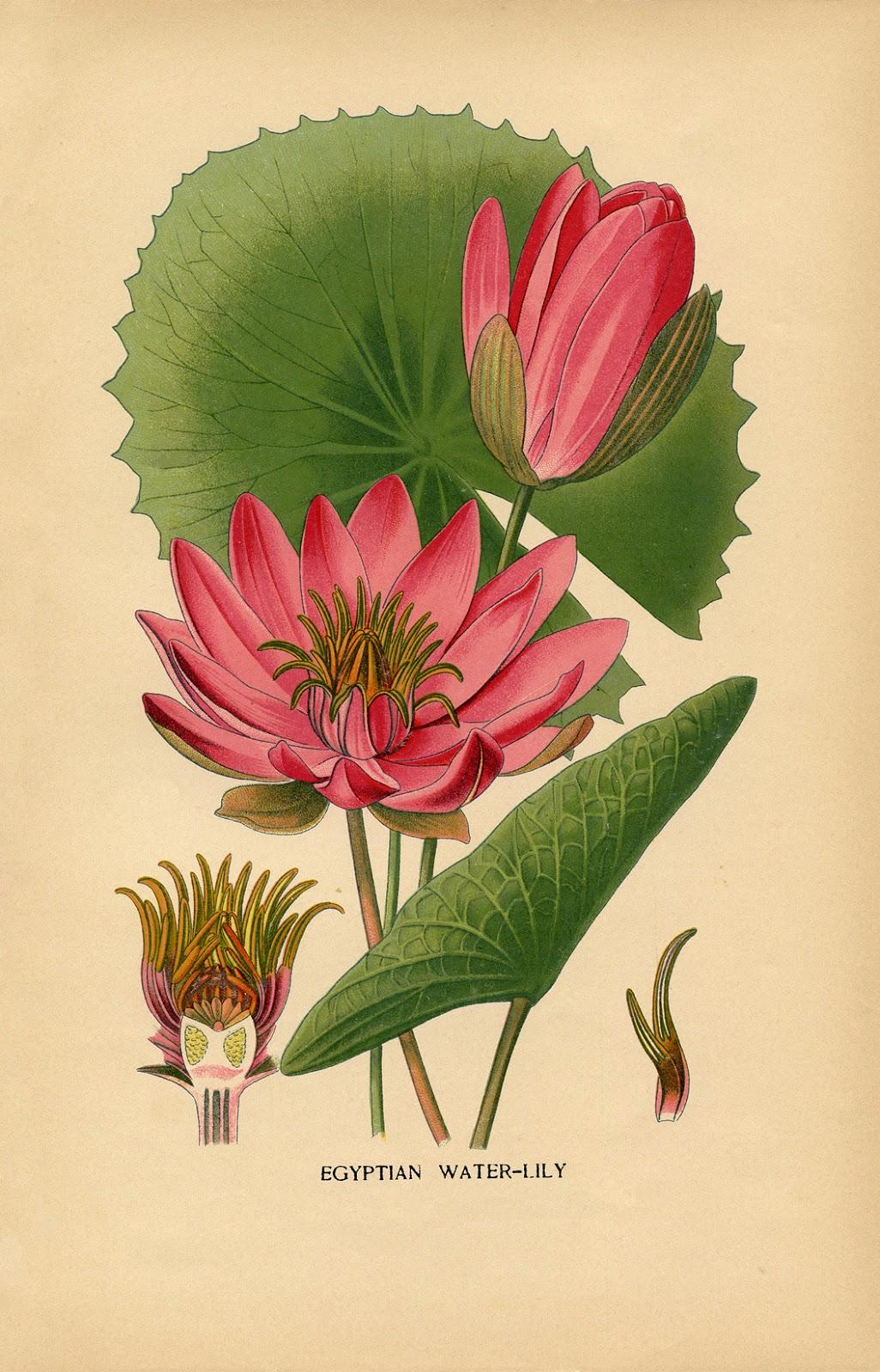 Vintage Printable Water Lily Botanical The Graphics