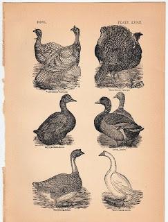 Ducks, & Turkeys, & Geese – Oh My!