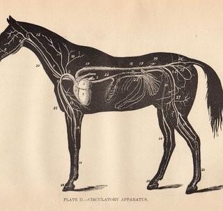 Free Graphic – Horse Anatomy Diagram