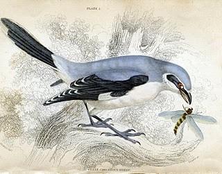 Antique Clip Art – Pretty Gray Bird