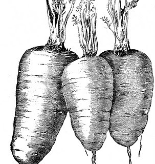Vintage Vegetable Clip Art – Carrots