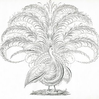 Free Antique Clip Art – Calligraphy Peacock – Flourishes