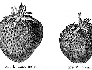 Vintage Clip Art – 2 Cute Strawberry Engravings