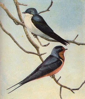 2 Lovely Barn Swallows – Graphic Image